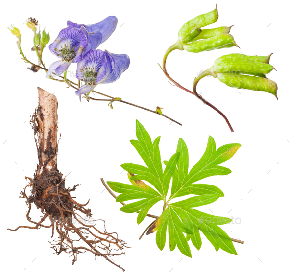 Medicinal plant: Aconite - Stock Photo - Images