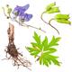 Medicinal plant: Aconite - PhotoDune Item for Sale
