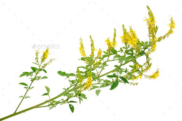 Medicinal plant: Melilotus officinalis (Yellow Sweet Clower) - Stock Photo - Images