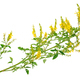 Medicinal plant: Melilotus officinalis (Yellow Sweet Clower) - PhotoDune Item for Sale