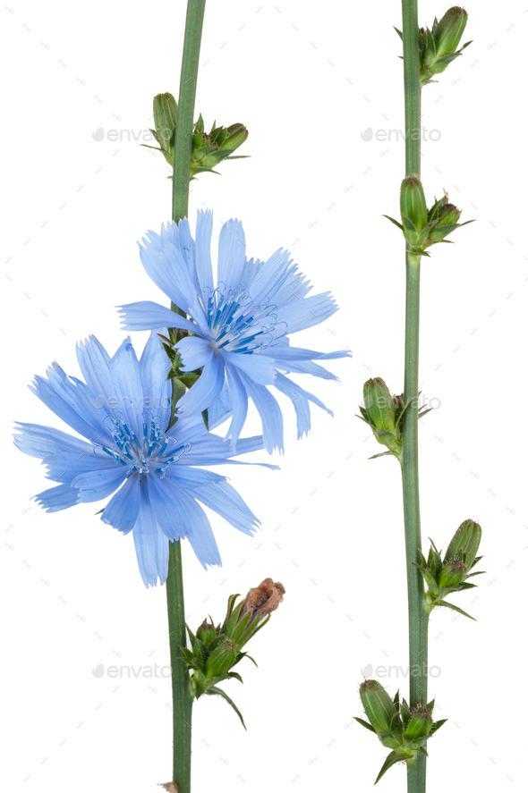 Medicinal plant: Chicory - Stock Photo - Images
