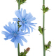 Medicinal plant: Chicory - PhotoDune Item for Sale