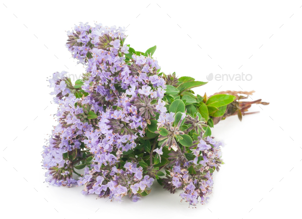 Medicinal plant: Thyme - Stock Photo - Images