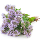 Medicinal plant: Thyme - PhotoDune Item for Sale