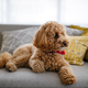 Little dog, poodle brown puppy at home - PhotoDune Item for Sale