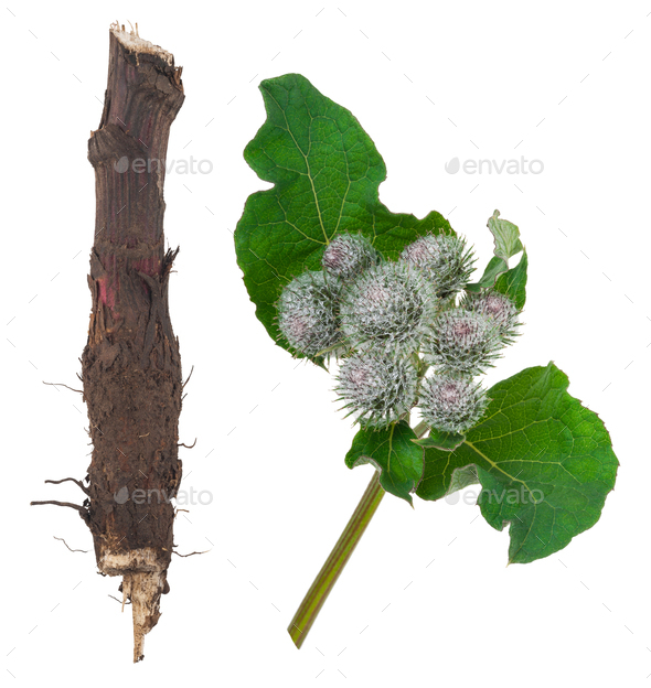Medicinal plant: Burdock - Stock Photo - Images