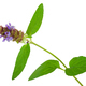 Medicinal plant: Prunella vulgaris. Self-Heal - PhotoDune Item for Sale
