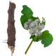 Medicinal plant: Burdock - PhotoDune Item for Sale