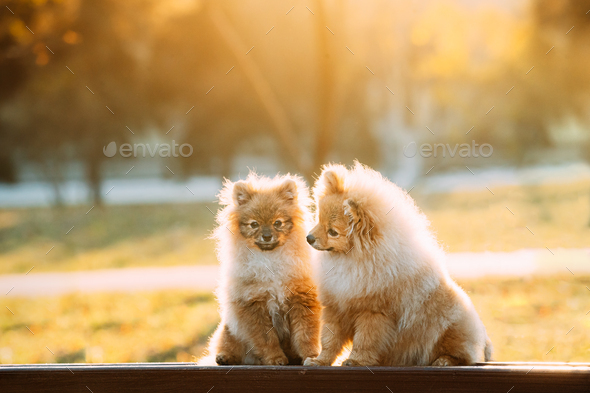 Two Young Red Puppy Pomeranian Spitz Puppy Dogs Sitting On Park Bench Outdoor - Stock Photo - Images