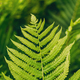 Natural green fern background. Summer season - PhotoDune Item for Sale