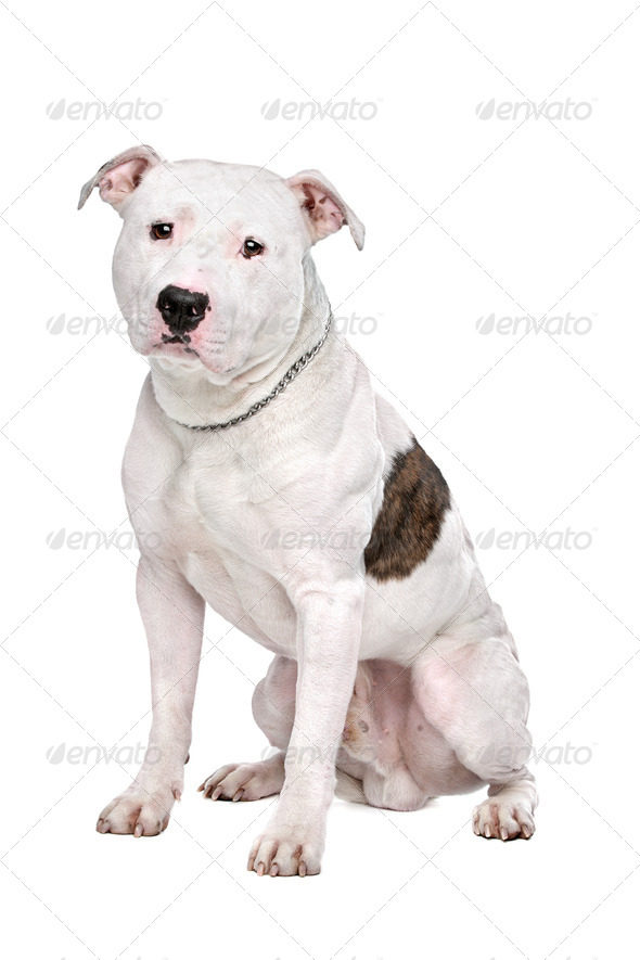 American Bulldog - Stock Photo - Images