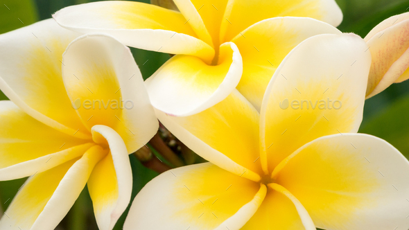 Close up of yellow tiare flowers at green outdoors background - Stock Photo - Images