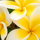 Close up of yellow tiare flowers at green outdoors background - PhotoDune Item for Sale