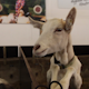 Curious Nanny Goat In A Barn Box With Her Kids - VideoHive Item for Sale