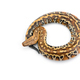 Sumatran Short Tail Python isolated on white background - PhotoDune Item for Sale