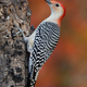 Red-bellied Woodpecker - PhotoDune Item for Sale
