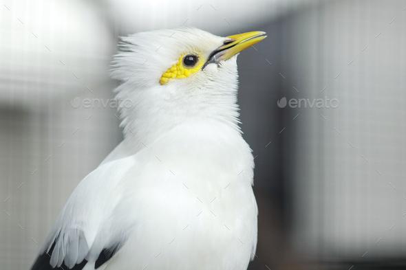White Myna Bird - Stock Photo - Images