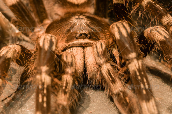 tarantula spider - Stock Photo - Images