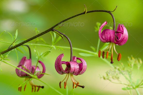 Wild lilium flowers - Stock Photo - Images
