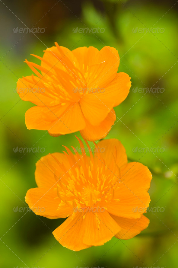Two yellow flowers - Stock Photo - Images