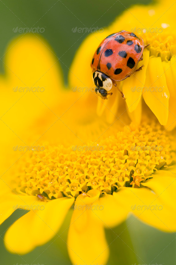 Ladybird on yellow flower, Coccinella - Stock Photo - Images