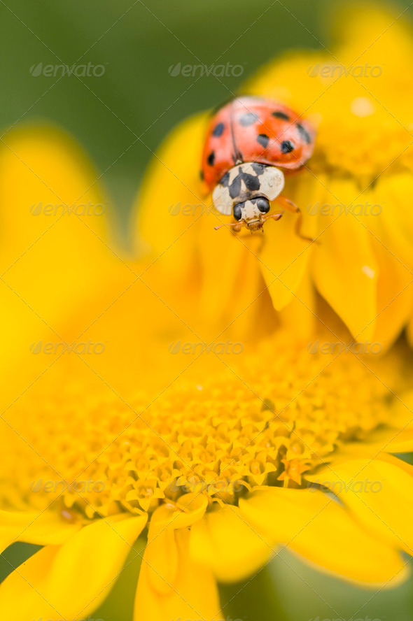 Adalia decempunctata,  ten-spotted ladybird - Stock Photo - Images