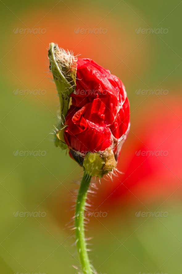 Red Poppy flower bud - Stock Photo - Images