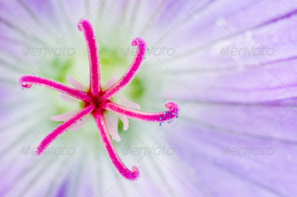 Closeup of geranium flower - Stock Photo - Images