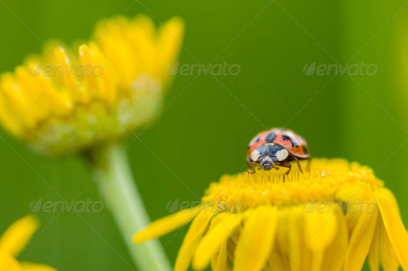 Adalia decempunctata,  ten-spotted ladybird - Stock Photo - Images