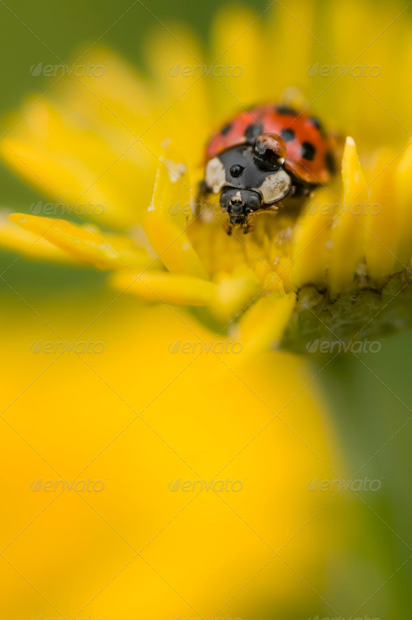 Ladybug with dew drop - Stock Photo - Images