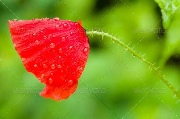 Red Poppy flower - Stock Photo - Images