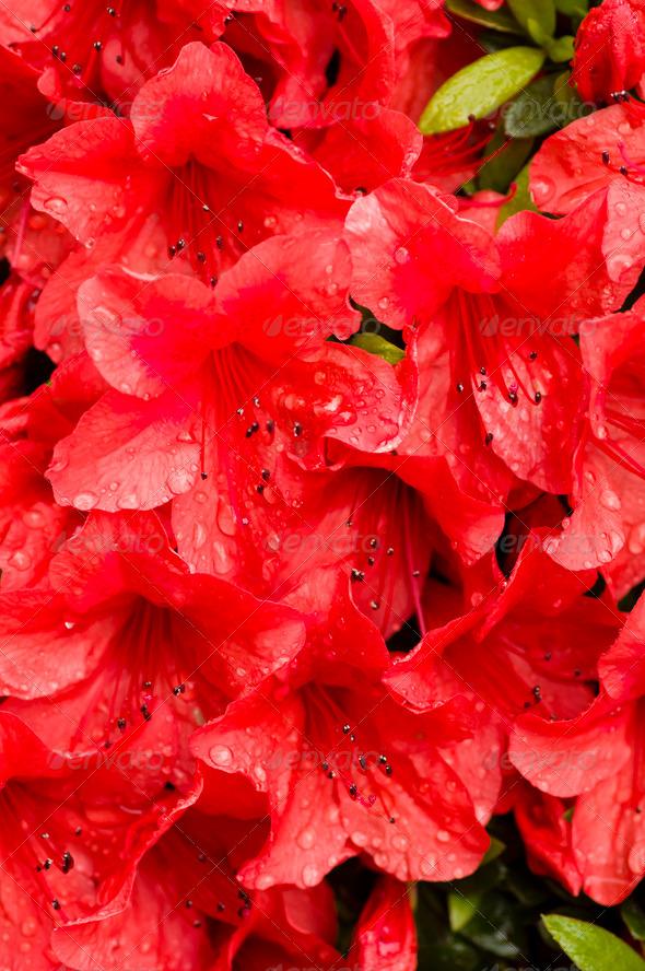 Red azalea flowers - Stock Photo - Images