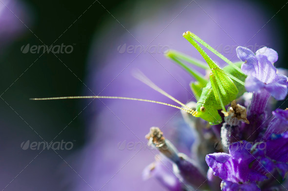 grasshopper on lavender flowers - Stock Photo - Images