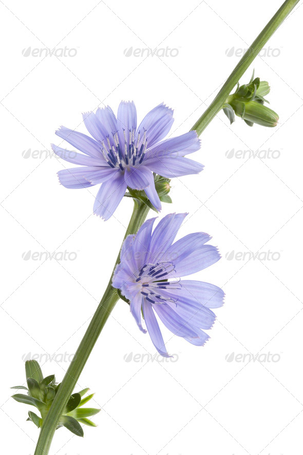 Fresh blue flowering chicory - Stock Photo - Images