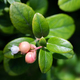 The process of growth and ripening of organic lingonberry berries, unripe green and pinkish berries. - PhotoDune Item for Sale
