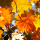 Autumn leaves background. Red oak tree branch with colorful yellow orange brown leaves. - PhotoDune Item for Sale