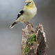 American Goldfinch - PhotoDune Item for Sale