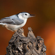 White-breasted Nuthatch - PhotoDune Item for Sale