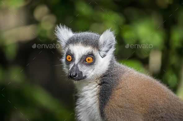 Ring-Tailed Maki - Stock Photo - Images
