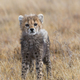 Cheetah male walking and looking for prey - PhotoDune Item for Sale