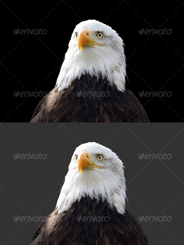 Eagle #2 - Nature & Animals Isolated Objects