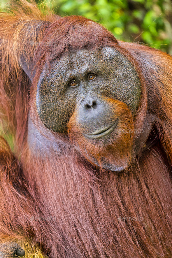 Orangutan,Tanjung Puting National Park, Borneo - Stock Photo - Images