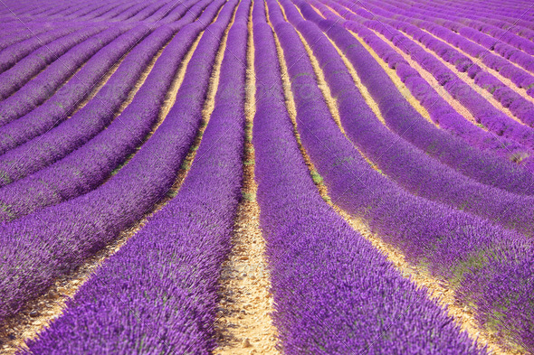 Lavender flower blooming fields as pattern or texture. Provence, France. - Stock Photo - Images