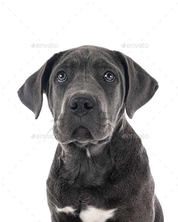 puppy cane corso - Stock Photo - Images
