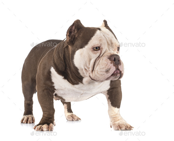 american bully in studio - Stock Photo - Images