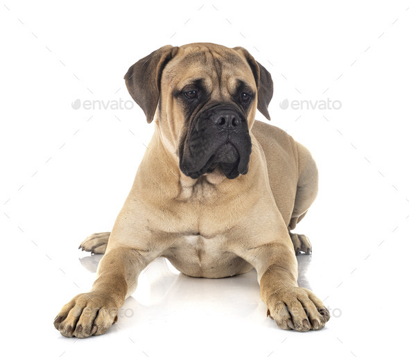 young bullmastiff in studio - Stock Photo - Images