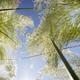 Austroderia richardii ornamental plant - PhotoDune Item for Sale