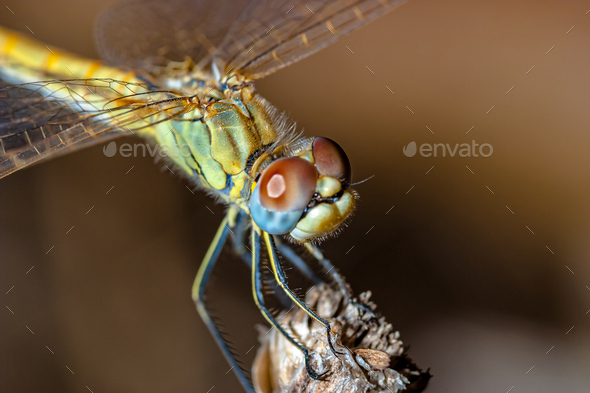 Dragonfly ( sympetrum sp ) - Stock Photo - Images