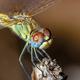 Dragonfly ( sympetrum sp ) - PhotoDune Item for Sale