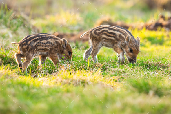 Little wild boar piglets grazing on grassland in springtime - Stock Photo - Images